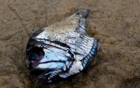 A remarkably rare beach sighting of a deep-water marine hatchetfish (Argyropelecus sladeni), less than 2 inches long. ©www.TideLines.org