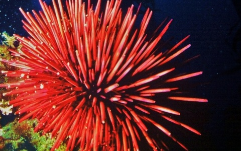 Sea urchins belong under water, not in the sky. They last longer that way, too (red urchin <em> Mesocentrotus franciscanus</em>). ©2015 TideLines.org