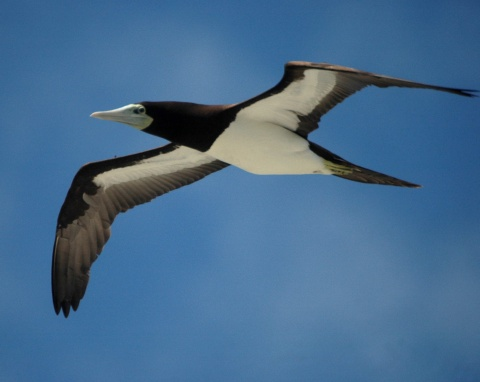 Brown booby in flight exposes white underbelly. courtesy Aviceda Commons Gallery